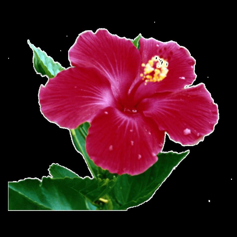 fleur d hibiscus carabiens le forum. Black Bedroom Furniture Sets. Home Design Ideas